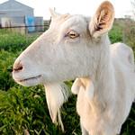 20130921 - Goats 008