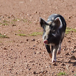 20130922 - Piglets 061