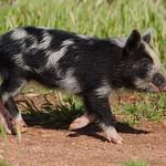 20130922 - Piglets 088
