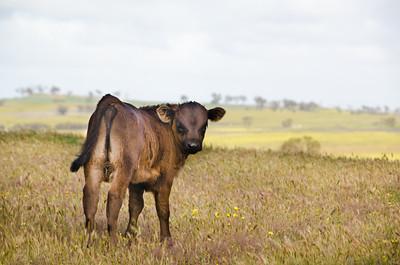 20130922 - Cows 034