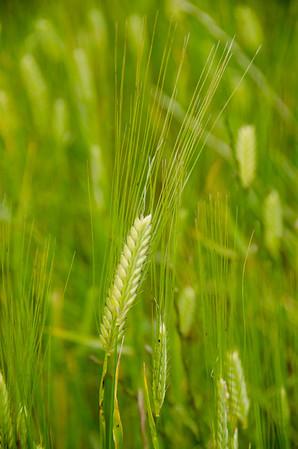 20130922 - Wheat in Closeup 013