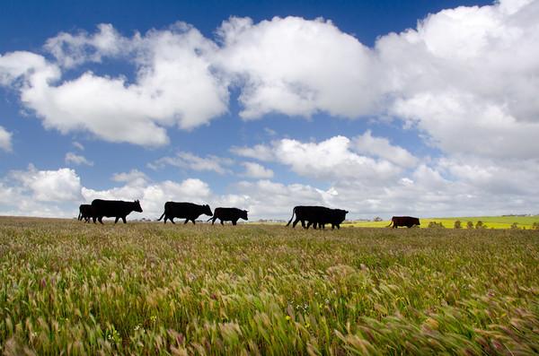 20130922 - Cows 041