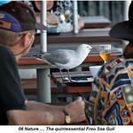 Nature_Fremantle Gull_Hans