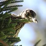 Nature_Sticky Beak_Lynda Haythornthwaite