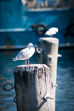 Nature_Gulls_Rob Woodbury