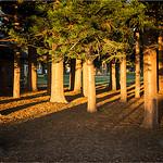 Nature_Pines_Jocelyn Manning