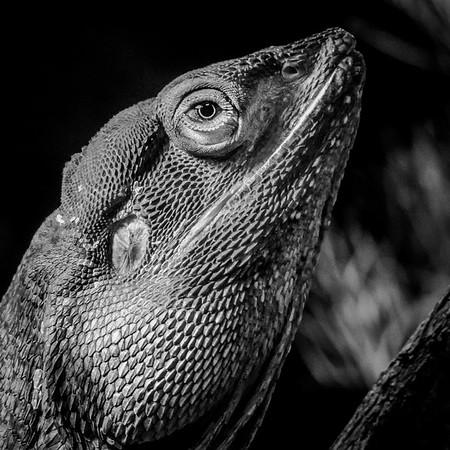 Frill-Necked Critter II_Richard Goodwin (1 of 1)