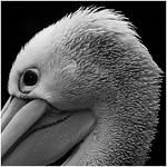 Pelican_Hans