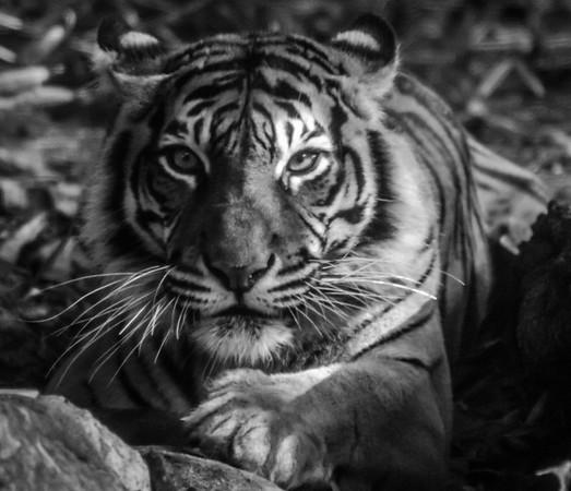 Tiger_Paul McKeown