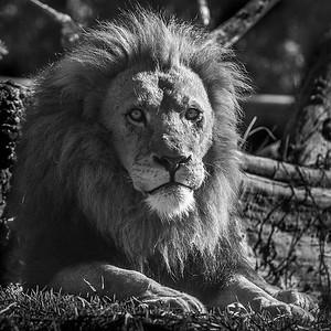 Lion Stare_ElaineReynolds