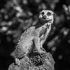 Meerkat Lookout_ElaineReynolds