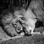 Lions_Paul McKeown