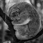Koala_Paul McKeown