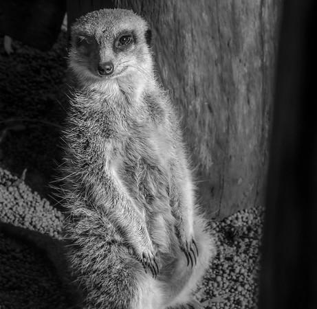 Meerkat_Paul McKeown