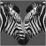 Zebra-crossing_Hans