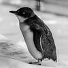 Penguin_Paul McKeown