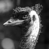 Emu_Paul McKeown