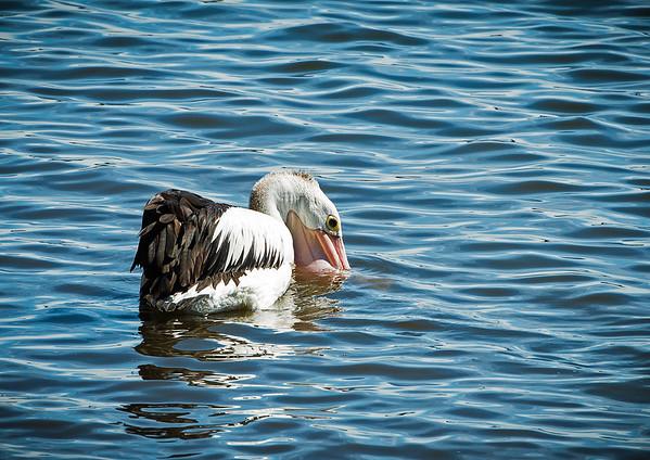 03_Fishing pelican_Richard Kujda