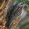 Tawny frogmouth 1024