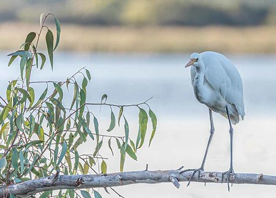 Great Egret 1024