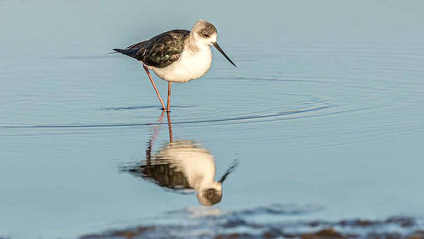 Black Winged Stilt 1024