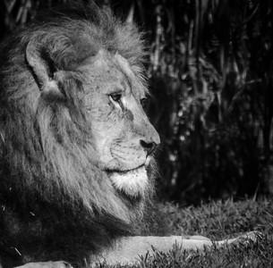 Lion_Paul McKeown