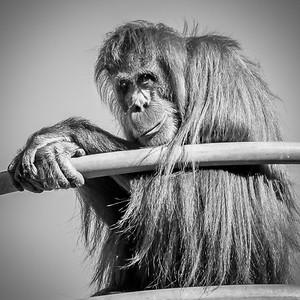 Great ape_Richard Goodwin (1 of 1)
