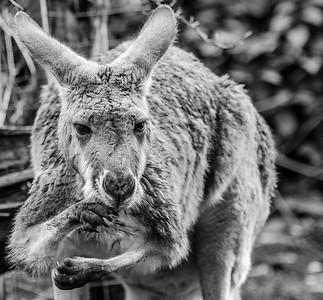 Kangaroo_Paul McKeown