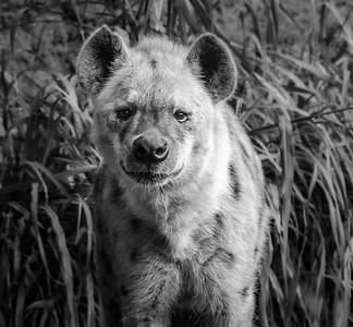 Hyena_Paul McKeown