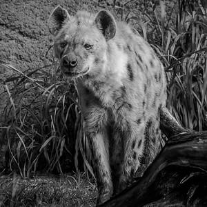 Hyena_Richard Goodwin (1 of 1)