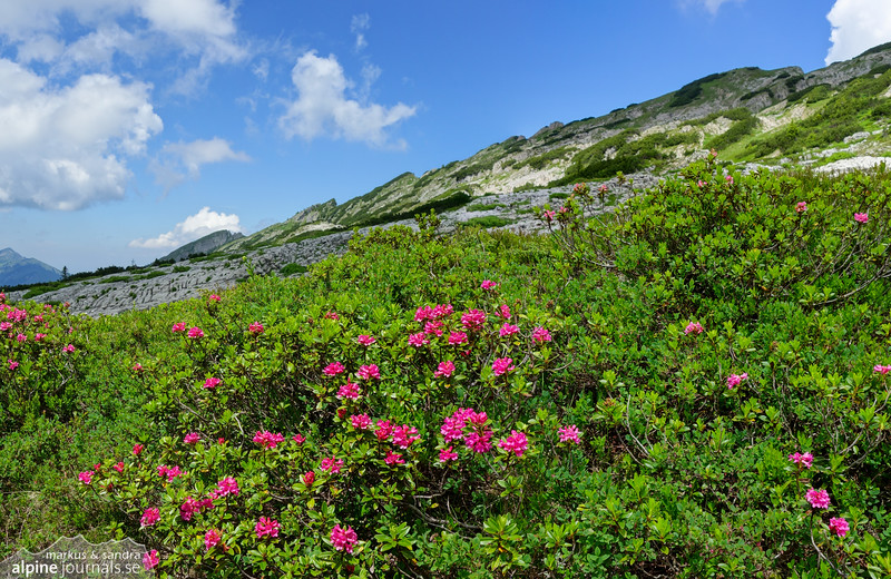 Alpenrose at the Gottesacker plateau