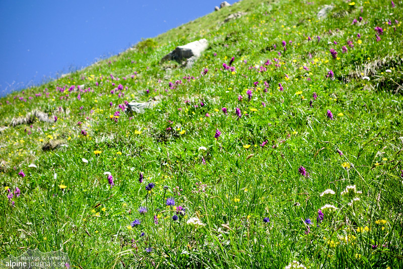Alpine meadow at Hohe Ifen south side.