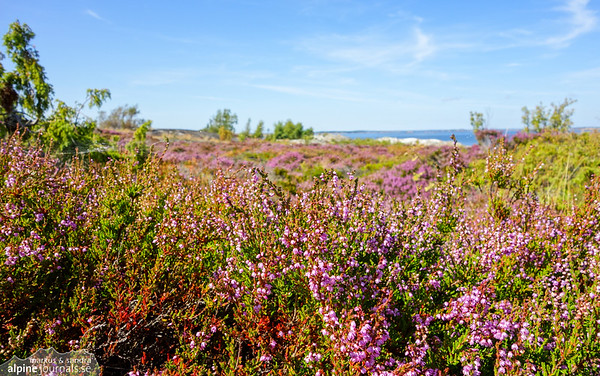 A sea of heather at Bodskär.