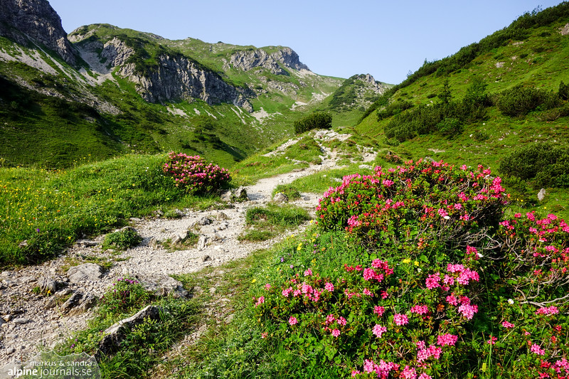 Alpenrosen in full blossom in upper Gemsteltal.