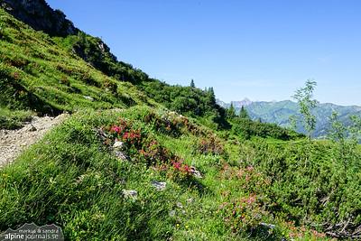Alpenrose along the path