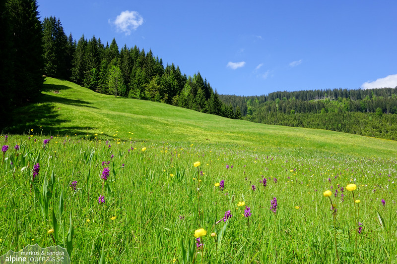When spring turns to lush summer, the heath spotted-orchids become common on the rich meadows of Kleinwalsertal.
