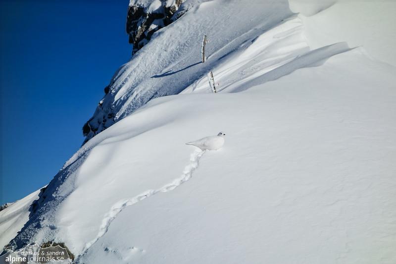 Rock ptarmigan / Alpenschneehuhn / Fjällripa
