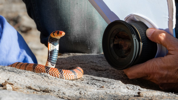 20200523 Cape Coral Snake (Aspidelaps lubricus) from Springbok, Northern Cape