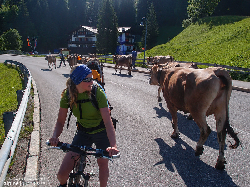 Cows on the street in Riezlern.