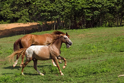 Horses at Chaa Creek, Cayo, Belize.