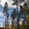 Tall Caledonian Pine