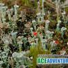 Flowering Fungi (Lichen)