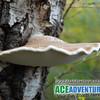 Birch Fungus