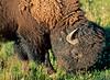 Bison, Yellowstone - 1 - 72 dpi