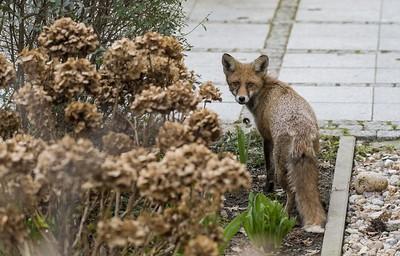 04 Fuchs vor der Haustür, Berlin, 2017 | Fox on the doorstep, Berlin, 2017