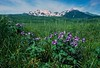 Scenery, Adak, Alaska, Mount Moffet, summer, wildflowers