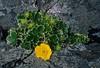 Plants, botany, Cinquefoil, Adak, Alaska