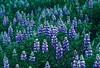 Plants, botany, Nootka lupine, Adak, Alaska