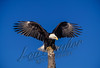 Bald eagles, birds