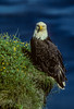 Bald eagles, birds
